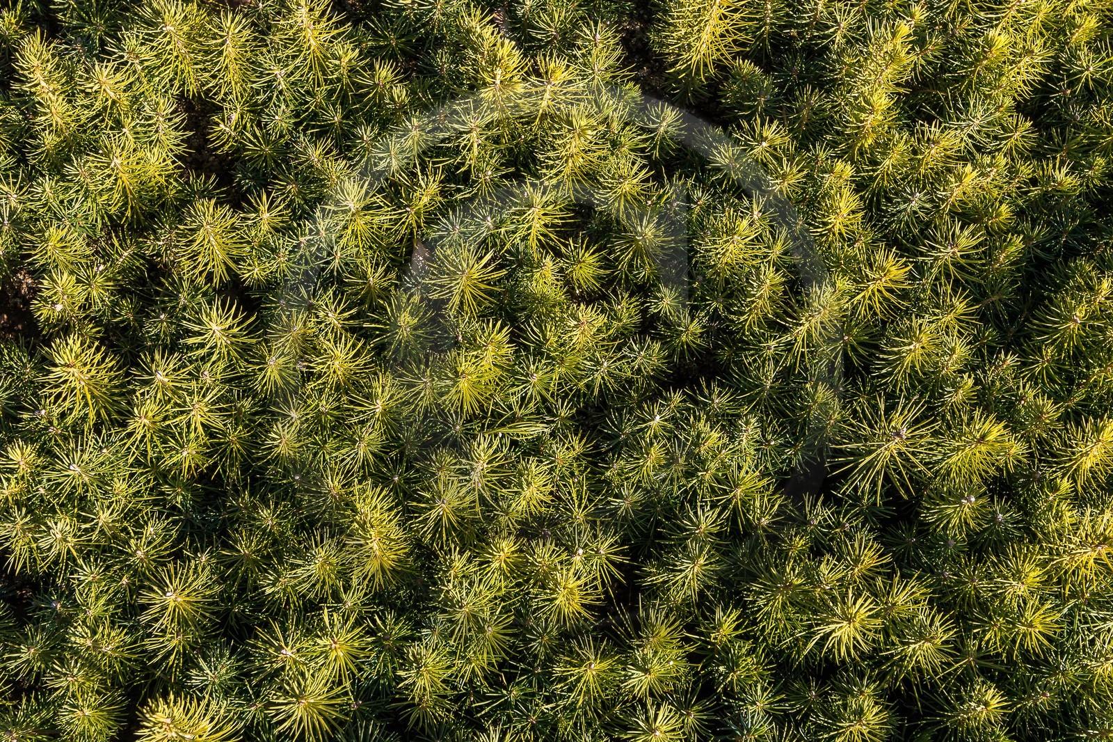 P pini re robin producteur de sapin de no l semis sapin nordmann abies nordmanniana - Sapin de noel nordmann ...